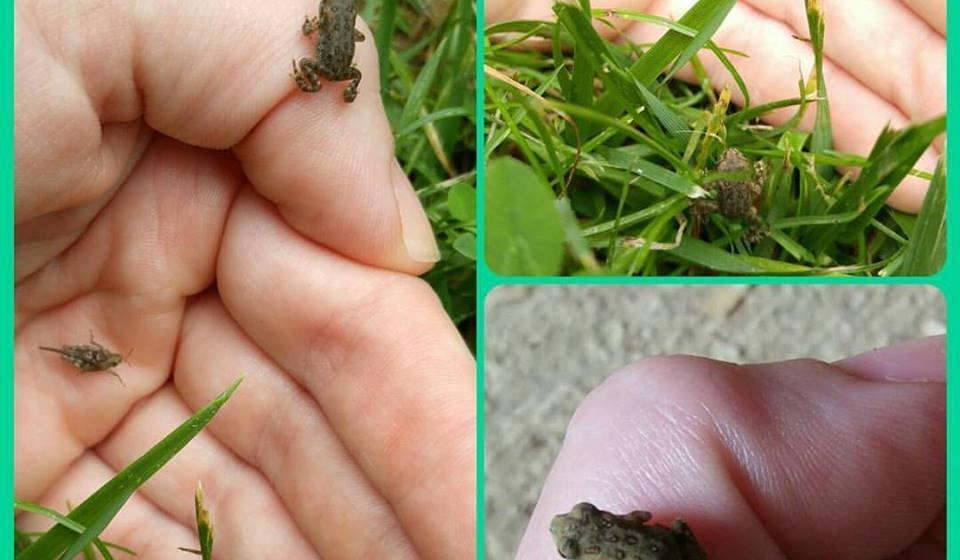 All the baby toads are jumping around at the Envrionmental Education Center